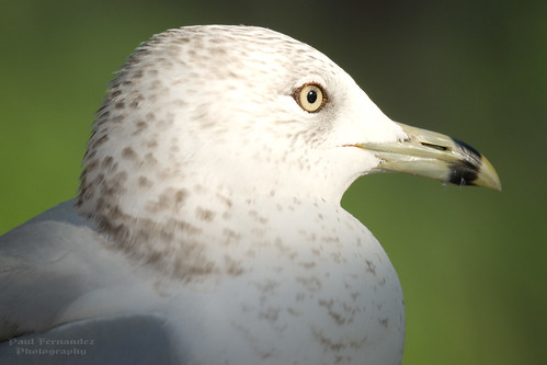 ringbilledgull gullringbilled gull larusdelawarensis zoomiami zoo miami florida paulfernandez