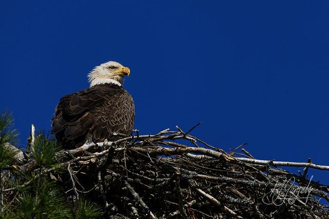 Watchful Eagle (20170521-163840-PJG)