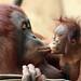 Borneo urangutan Lea and Suria Krefeld BB2A8199 by j.a.kok