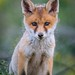 Little Fox by Heidi Spiegler