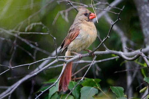 cardinal cardinaliscardinalis