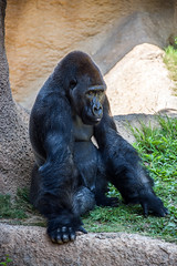 Western Lowland Gorilla at the Los Angeles Zoo
