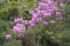 Rhododendron dilatatum var. dilatatum
