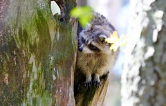Northern Raccoon in the Trees