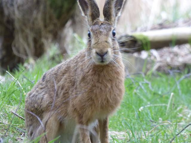 Brown Hare - Lepus europaeus