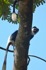 Entebbe, Uganda - Entebbe Botanical Gardens - Black and White Colobus