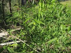 Eustrephus latifolius - Wombat Berry 1