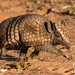 Three Banded Armadillo (Barbara Evans)