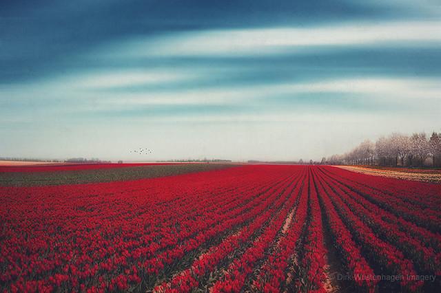 100001 tulips