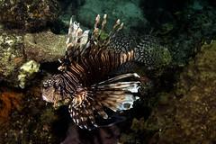 Lionfish_Dominica_ April 2017 Y