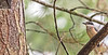 Sacred Kingfisher 53