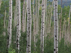 Aspen Colorado bosco di betulle - Birch forest