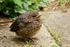 Fledgling - blackbird