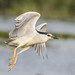 Black Crowned Night Heron (Judith Rolfe)