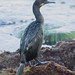 Cormorant in San Diego
