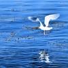 Mávur Seagull
