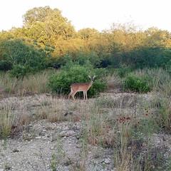 The sauntering deer,  stylo one...