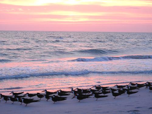 florida2017april skimmer birds florida water sand