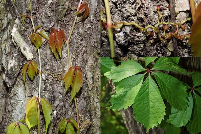 Parthenocissus quinquefolia L. Planch, Sony ILCA-68, Sony DT 30mm F2.8 Macro SAM (SAL30M28)