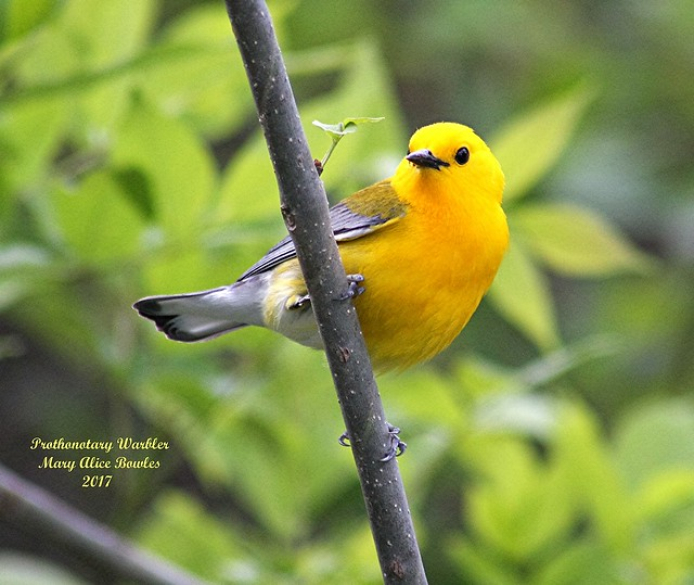 Prothonotary Warbler, Canon EOS 40D, Canon EF 75-300mm f/4-5.6