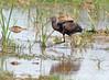 Morito Común  / Glossy ibis / Plegadis falcinellus by vic_206