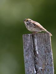 Savannah Sparrow 07-20170515