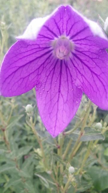 아침일상: 도라지꽃