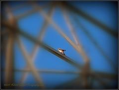 2017-04-12_P4120022_American Kestrel Falcon,Clwtr,fl