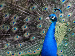Indian Peafowl, Scone Palace