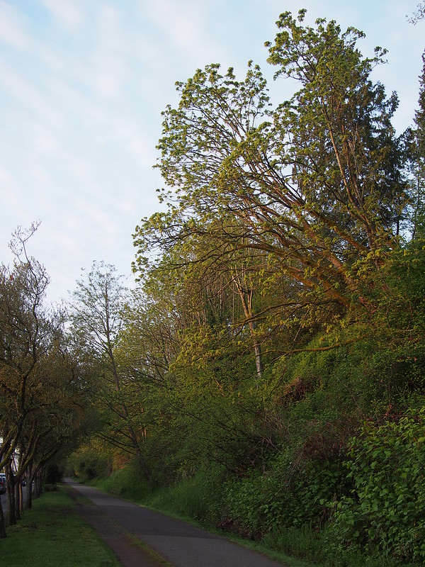 Burke–Gilman Trail Greenway: These trees really appealed to me.