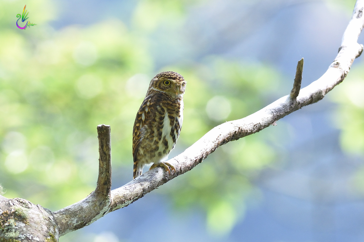 Collared_Pigmy_Owlet_4719