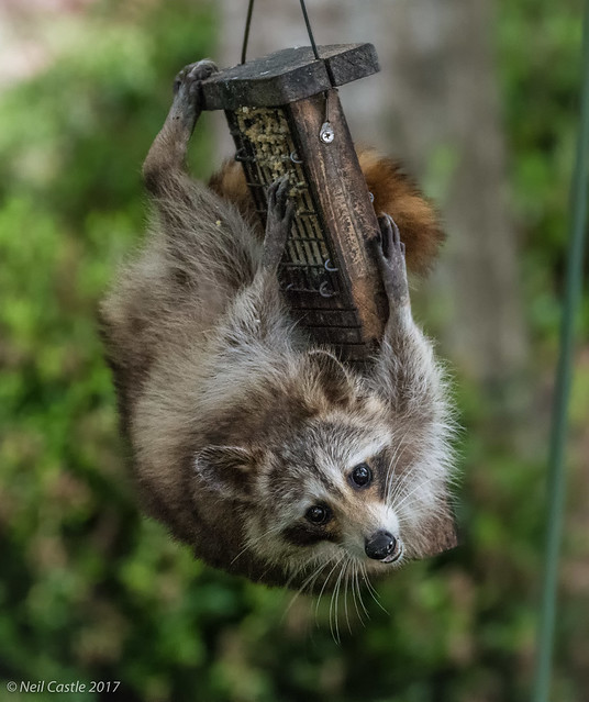 Raccoon Caught in the, Nikon D500, Sigma 150-600mm F5-6.3 DG OS HSM | C