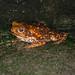 Cane Toad (Ian Talboys)