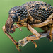 Warty weevil by andredekesel