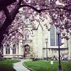 Cherry blossom curtain, 4/24/17