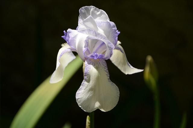 Iris 'Ma Mie' - Ferdinand Cayeux 1906 34294795661_c69a28d90d_z