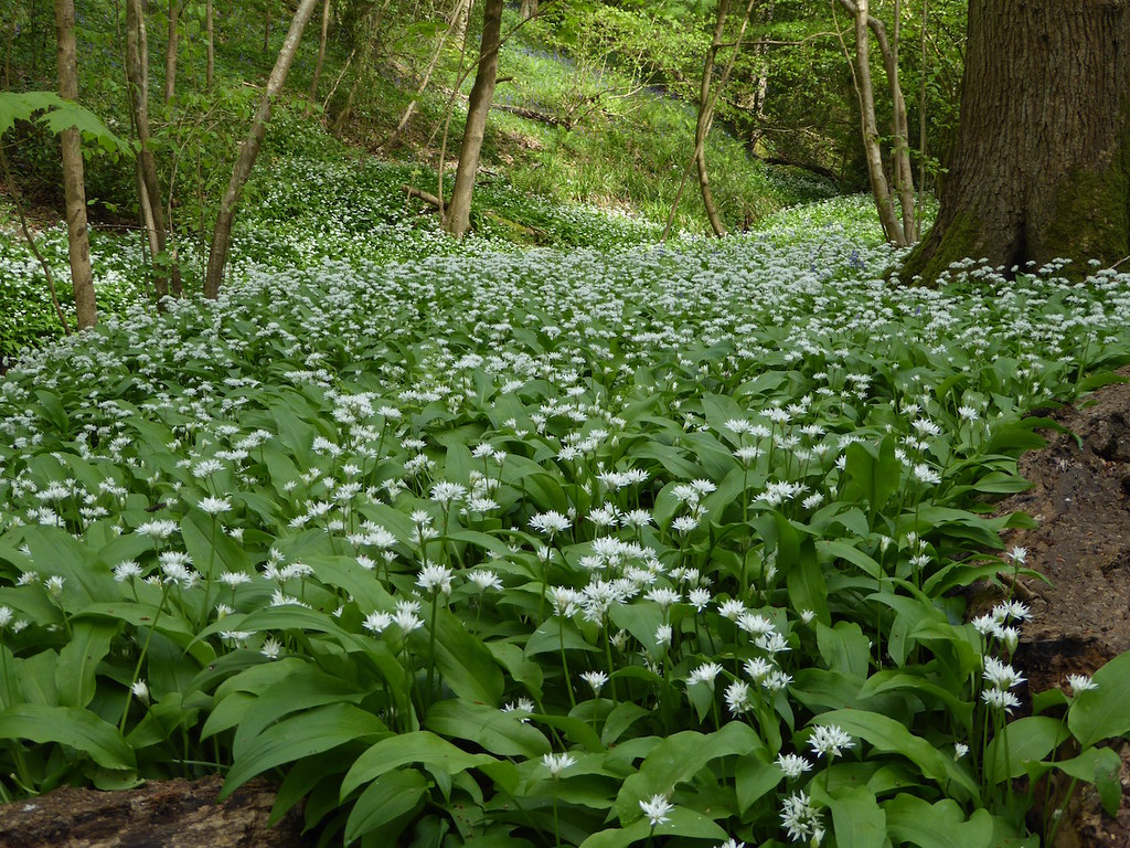 Wild garlic (ramsons) Ockley to Warnham walk