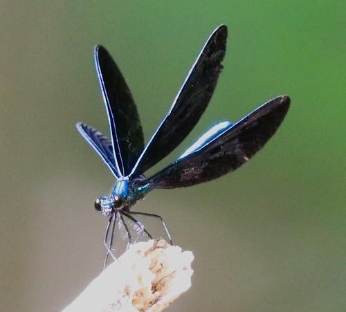 Ebony jewelwing male damselfly