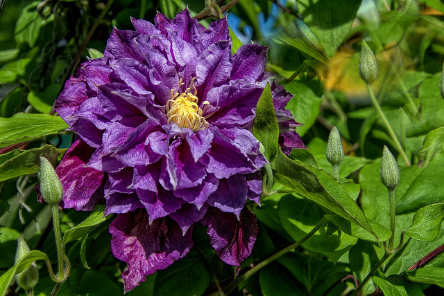 Purple clematis flower in the morning sun