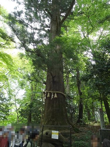 高尾山のご神木