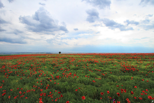 A field of poppies, Canon EOS 7D, Canon EF-S 10-22mm f/3.5-4.5 USM
