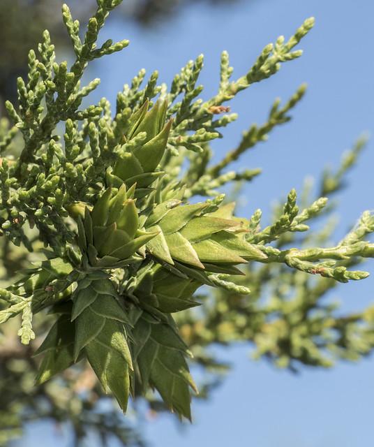 Galls Initiated by Cypress Gall Midge, Walshomyia cupressi--Spring