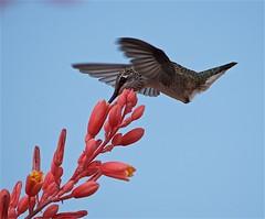 Hummingbird feeding on Texas Red Yucca