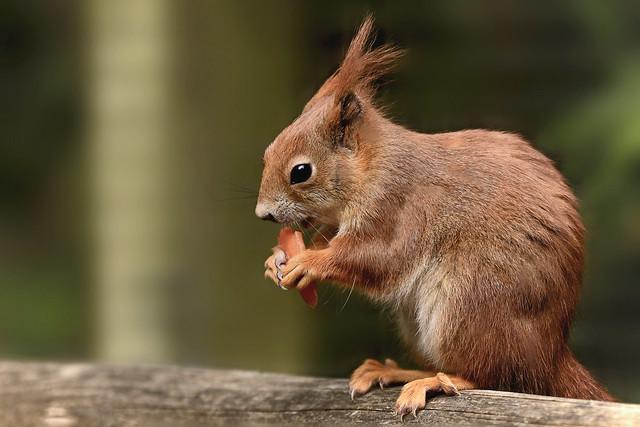 Red Squirrel, Nikon D610, Sigma Macro 105mm F2.8 EX DG