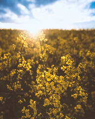 Fields of sunshine