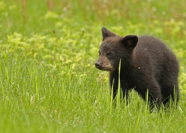 Black Bear cub... 9, Canon EOS 5D MARK III, EF400mm f/5.6L USM
