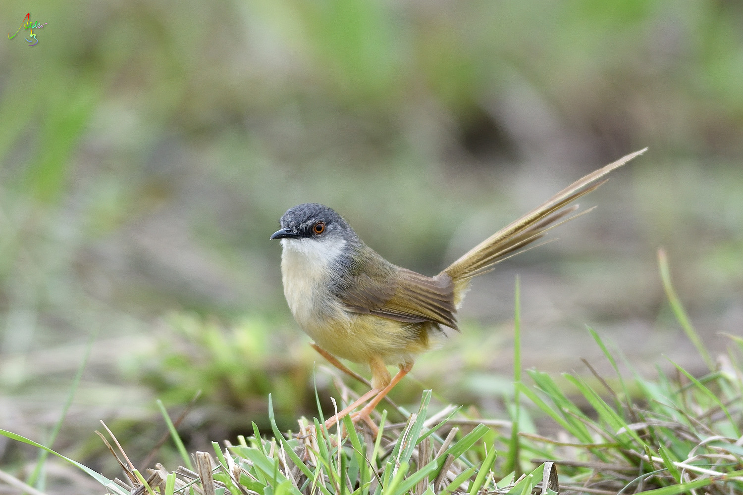 Yellow-bellied_Prinia_3492
