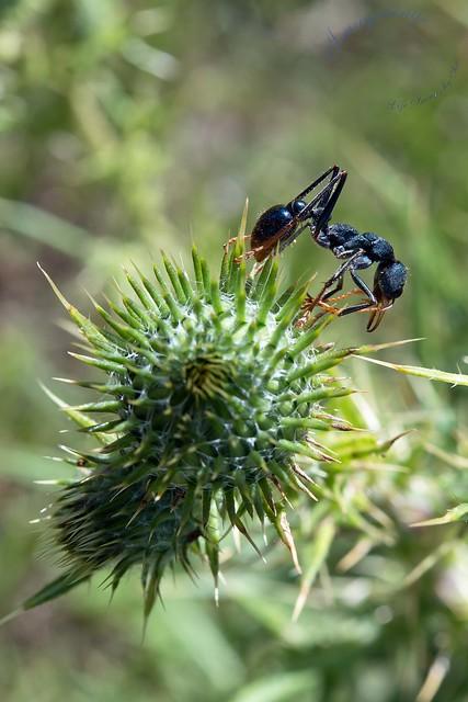 Bull ants on Thistle