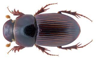 Pharaphodius indicus (Petrovitz, 1958) Syn.: Aphodius (Pharaphodius) indicus (Petrovitz, 1958)