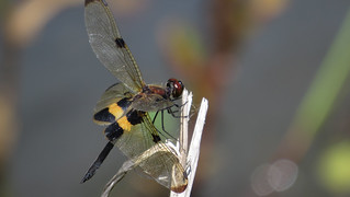 Rhyothemis phyllis lateral wings down